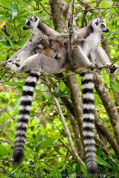 Ring-Tailed Lemurs by Pierre-Yves Babelon Primates, Mammals, Animals And Pets, Baby Animals, Cute Animals, Beautiful Creatures, Animals Beautiful, Monkey World, Barrel Of Monkeys