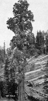 Boole Tree-Im Converse Basin sind viele Überreste der Rodungen der Vergangenheit zu finden: überall gibt es riesige Baumstümpfe und Brocken von den gefallenen Bäumen. Aufgrund der geringen Qualität des Holzes, fielen sie beim umfallen in Stücke. Die hohen Anteil von Tannin im Holz hat die meisten der Stücke vor dem Verfall bewahrt.