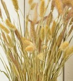 Dried Seteria Grass - Foxtail millet - Love this alone or paired with other dried flowers in summer and fall bouquets and centerpieces. #seteriagrass #foxtailmillet #millet #driedplants #flowerarranging #driedflowers #springdecor #homedecor #summerdecor #decorinspo