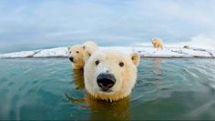 This polar bear photo is one of the best I've seen in awhile. Polar bears love the water and can swim 50 miles ar more if they need to. Nature Animals, Animals And Pets, Baby Animals, Funny Animals, Cute Animals, Polar Animals, Beautiful Creatures, Animals Beautiful, Bear Photos