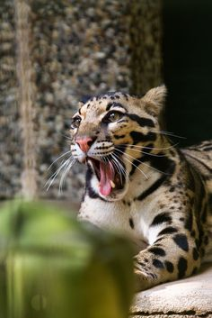 clouded leopard by Cloudtail Big Animals, Majestic Animals, Nature Animals, Big Cats, Cool Cats, Cats And Kittens, Beautiful Cats, Animals Beautiful, Serval Cats