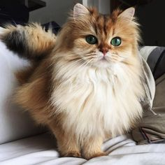 Smoothie is Undoubtedly A Gorgeous Fluffy Kitty.