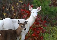 I saw a white deer with her fawn this evening.  What a magical sight!