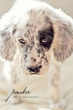 English Setter puppy. Sparrow Taking On the World. Pet Photography portrait.