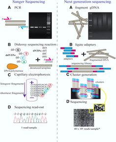 Next Generation Genome Sequencing – Today And Tommorrow - After Human Genome Project was done succesfully, genome sequencing came to an new era. In molecular Biology, this thing is common for all organisms, doing PCR and sequencing. Click pin to read the full article on sciencenutshell.com