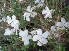 """HIBISCUS SINENSIS """"Swan Lake"""" var Fantasia - Pure White X4 fresh stem cuttings.   eBay"""