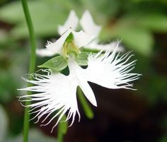 Holy spirit Orchid | Holy Ghost Orchid (Peristeria elata)