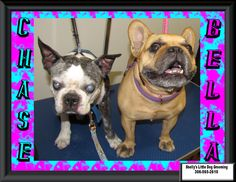These two came in Yesterday for a nail clip. Have known these pups since they were just little ones, time sure flies. Always nice to see their mom :) #DogNails #BostonTerrier #FrenchBulldog #SeniorPups Video:  https://www.facebook.com/ShellyLbrn3/videos/1240212992718485/