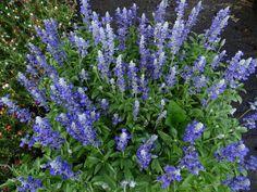 Blue Salvia, Victoria Blue, Mealy Cup Sage ชื่อพฤกษศาสตร์ : Salvia farinacea Benth วงศ์ : LAMIACEAE (วงศ์กระเพรา)  2 September 2015 ตลาดนัดต้นไม้สวนจตุจักร