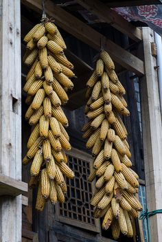 Corn cobs hanging to dry ... | Flickr - Photo Sharing!