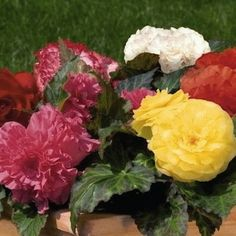 Non-Stop Mix Begonia - Annual Flowers