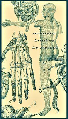 Anatomy brushes by Myruso.deviantart.com on @deviantART