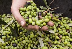 Coltivazione olivo - varietà Frantoio. Risultati concreti sulla qualità dell'olio apprezzata anche da esperti e giudici di concorsi specializzati.