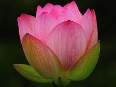 Nelumbo nucifera - Lotus, by Giovanni88Ant, via Flickr