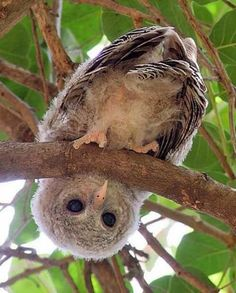 Baby owl looking at you through Morwen - Baby Animals 2019 Nature Animals, Animals And Pets, Baby Animals, Cute Animals, Owl Photos, Owl Pictures, Beautiful Owl, Animals Beautiful, Wood Owls