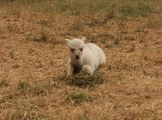 Baby alpaca found its own pile of food. So cute Cute Alpaca, Baby Alpaca, Alpacas, Lamb, Animals, Food, Animales, Animaux, Essen