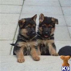German+Shepherd+Puppies+for+Sale | German Shepherd Puppies for Sale in NOTTINGHAM Listing