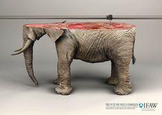 ifaw elephant