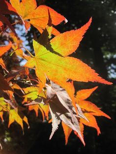 This image uses sunlight and a good measure of focus to highlight the autumn leaf. The background of the image is green which detracts from the autumn feel of the image, but because it is blurred out it is shown that it is not the subject matter.