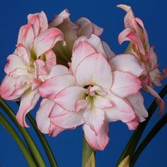 Amaryllis 'Aphrodite' Bulb