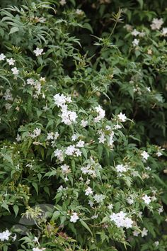 Jasminum officinale - A popular, sweetly scented climber smothered in clusters of highly fragrant white flowers from June to August and pretty, fine foliage. This versatile, deciduous climber appreciates a sheltered, sunny, well-drained site, and can cope with dry conditions. Since it spreads quickly in all directions, it's ideal for covering a large south or west-facing wall or an unsightly garden building. In small gardens, it is best planted in a pot and trained up a trellis or wall.