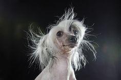 » Prophecy: Retratos Fotográficos de Perros sin Pelo por Sophie Gamand