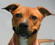 *BETSY-ID#A669326    Shelter staff named me BETSY.    I am a spayed female, red Pit Bull Terrier.    The shelter staff think I am about 3 years old.    I have been at the shelter since Sep 28, 2012.