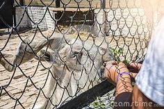 Askania-Nova, Kherson region, Ukraine - July 01, 2017: Markhor feed from the hands, zoological garden of the National Reserve Askania-Nova in Ukraine