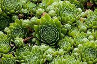 Sempervivum montanum subsp. stiriacum