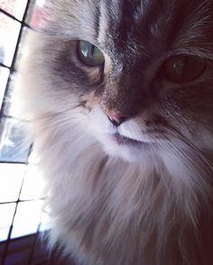 예뻐 . #페르시안친칠라#고양이#냥스타그램#반려묘#캣스타그램#반려동물#애완동물#반려묘#야옹#페르시안#persianchinchilla#instacat#animalofinstagram#cats#animalstagram#cutest#instakotik#catlover#cat#kitten#dailykitten#catsofworld#gatosdeinstagram#catstagram#ilovemycat#gatostagram#animal#animaloftheday by am9.15 http://www.australiaunwrapped.com/