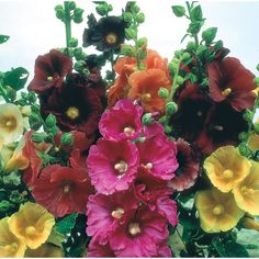 Johnson Seeds Hollyhock Giant S.Mix at wilko.
