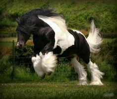 Draft horse pinto