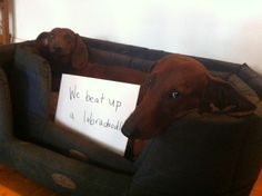 """Zeke should have a sign that says """"I beat up a Labrador."""" I think that's more impressive :p"""
