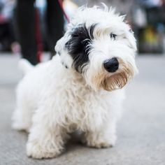 Oscar, Sealyham Terrier (5m/o), 76th & Park Ave, New...//the dogist