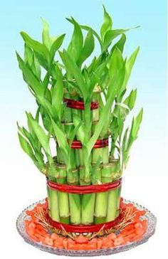 Gift This Lucky Bamboo To Wish Them Luck - it is the Best Gift To Show Your Love through Shop2Nellore.