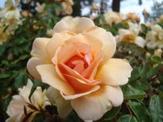 Crépuscule - Ludwigs Roses | Near double flowers, golden apricot colour, lightens as it matures. Will flower continuously into Winter. Yellow Orchid, Yellow Roses, Red Roses, Different Kinds Of Flowers, Begonia, Beautiful Roses, Garden Landscaping, Orchids, Plants