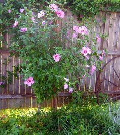 Rose of Sharon seedlings