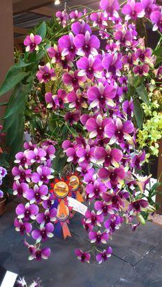 Dendrobium. ..