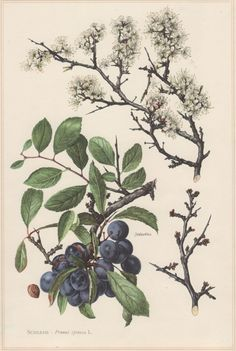 1960 Vintage Botanical Print Blackthorn Plum Tree by Craftissimo