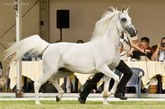 Arabian Horse Janow Podlaski (Poland)