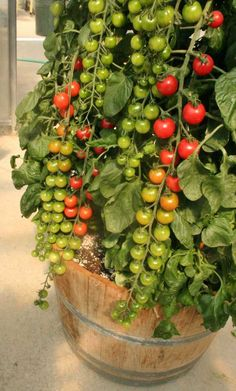 Rapunzel Hybrid Cherry Tomato, high yield, good for containers