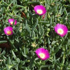 "Carpobrotus glaucescens - pig face; apparently does quite well in clay soils. ""Aussie Rambler"" variety is meant to have exceptional flowers. Should use as a boarder somehow"