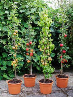 ... Dwarfing Rootstocks Have Made The Pear Available To Container  Gardeners. As Easy To Grow As Apples, These Pear Varieties Just Need A  Little More Wa .