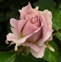 JP: Silver Cloud - Russet Floribunda Roses