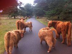 Schotse hooglanders op de Veluwe Foto: Petra Simons