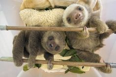 thatslothblog:  thecuteoftheday:  (via Two-toed sloths cannot...