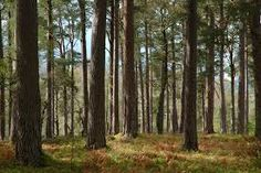 Image result for scots pine forest