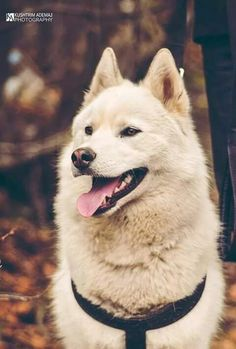 white husky in forest