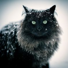 A snow-covered beauty. (Looks like either a Maine Coon Cat or a Norwegian Forest Cat -- I think it's the latter). Pretty Cats, Beautiful Cats, Animals Beautiful, Cute Animals, Pretty Kitty, Stunningly Beautiful, Cool Cats, I Love Cats, Animal Gato