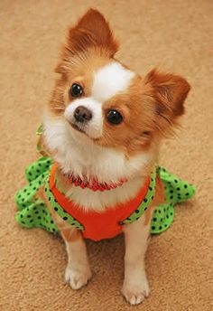 Long-coated Chihuahua therapy dog.
